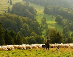pastore con pecore e cane
